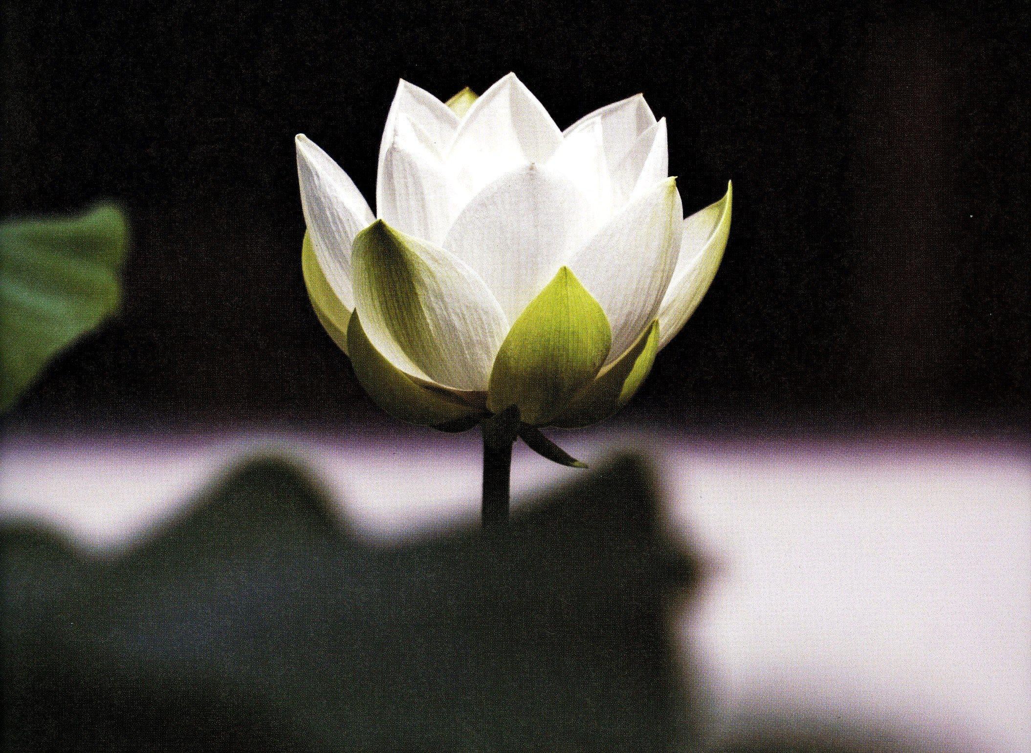 , (22) Lotus Buddha Meaning – Sensational Image, My Tattoo Blog 2020, My Tattoo Blog 2020