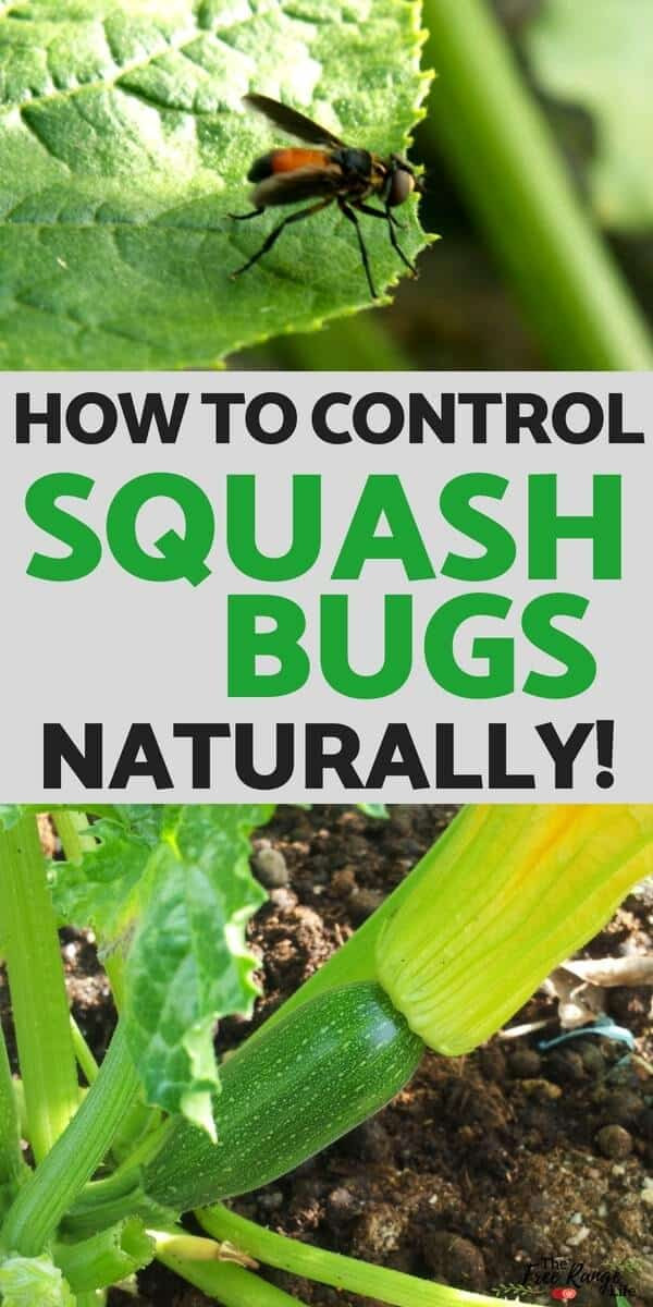 6 Ways to Get Rid of Squash Bugs in Your Garden- Naturally!