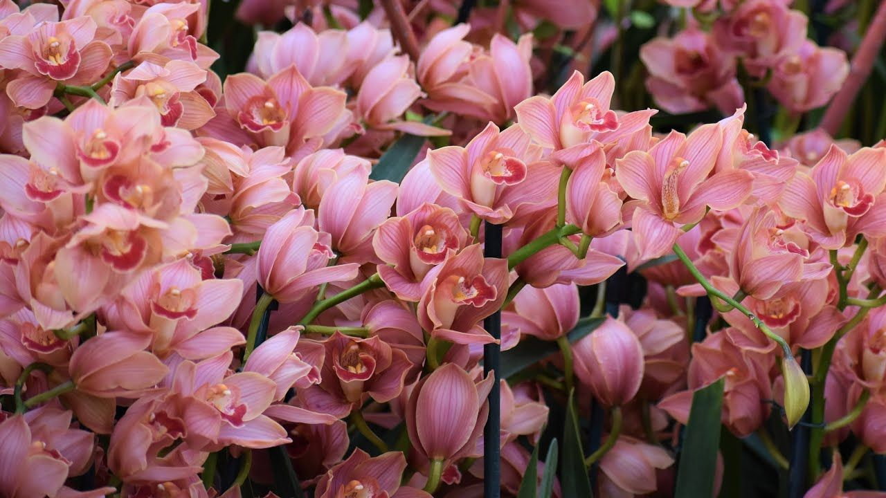 Cymbidium Orchid Care Cool Flowering Cymbidium Orchids Northlawn F In 2020 Cymbidium Orchids Care Orchid Care Flower Farm