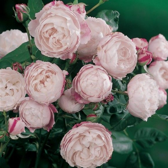 mme pierre oger les roses anciennes rosier rosiers. Black Bedroom Furniture Sets. Home Design Ideas