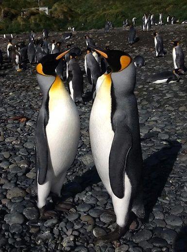 King Penguins, Hurd Point, Macquarie Island