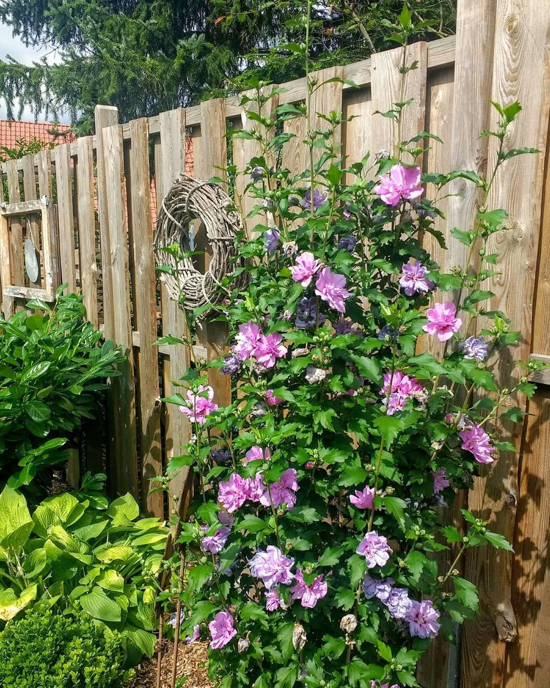 Hibiskusliebe Gardenideas Garden Garten Gartendeko Gartenliebe Gartenidee Meinlandhausstyle Meingarten Hibiskus Hibiscus Landhaus Garten Resim