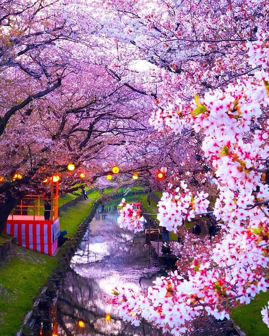 Cherry Blossoms At Shingashigawa River Saitama Japan Photos By Capkaieda Naturegeography Beautiful Nature Cherry Blossom Japan Tree Photography