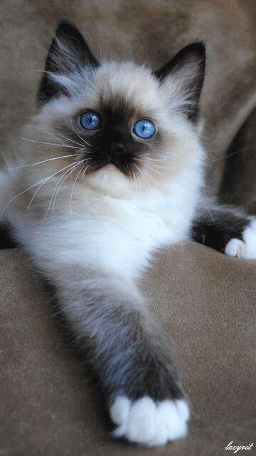 Long Hair Hayvanlar Yavru Kediler Kedileri Seviyorum