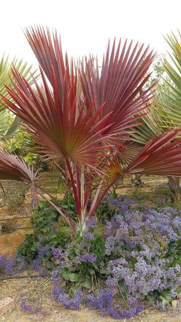 Latania lontaroides red latan palm jardiner a for Vivero de plantas exoticas