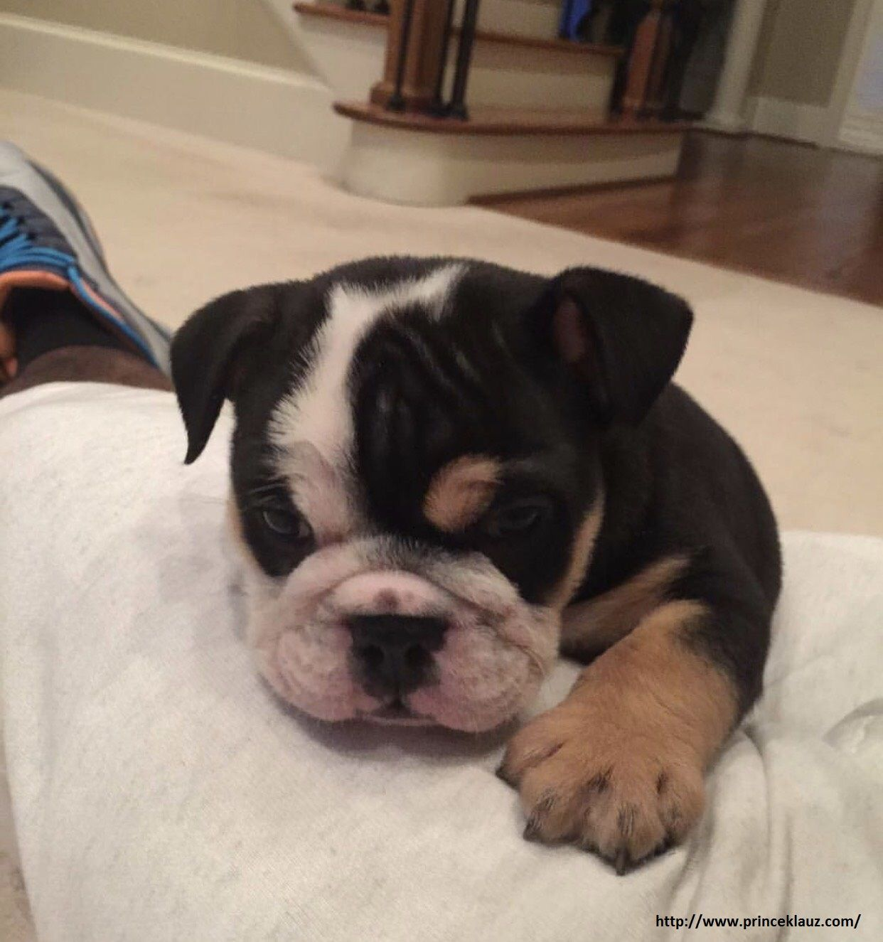 Black Tri Bulldog Puppies Price Starts From 4500 Usd To 7500 Usd