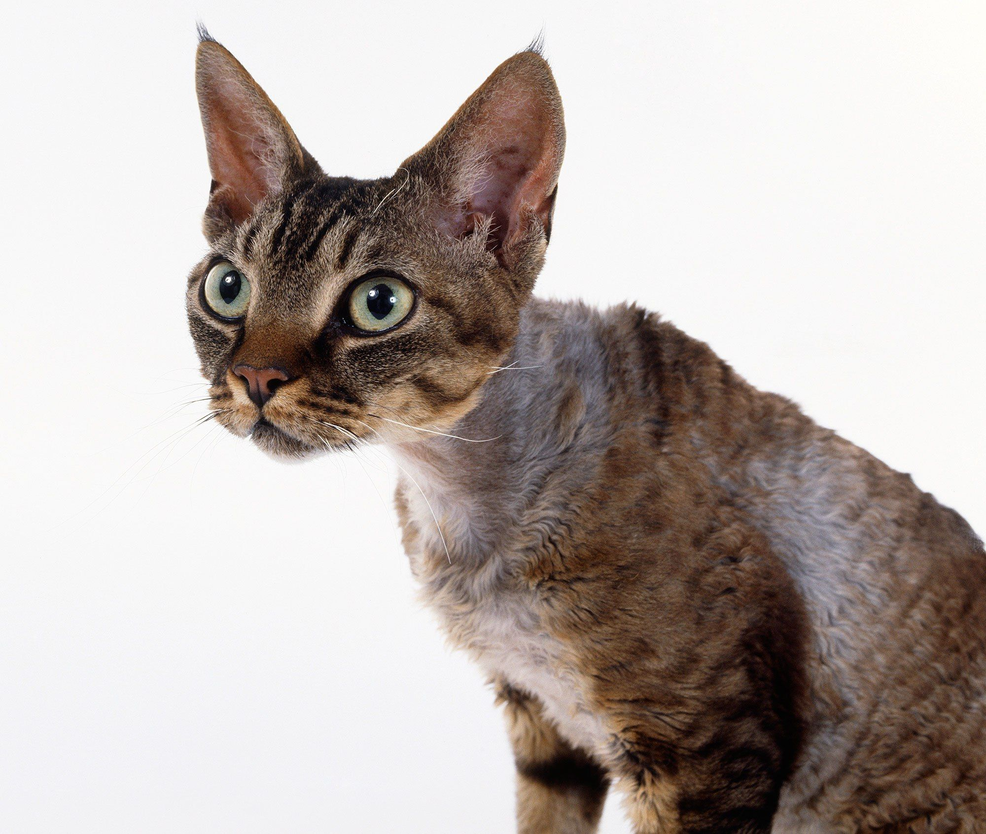 Meowza These Are the 13 Most Expensive Cat Breeds in the World