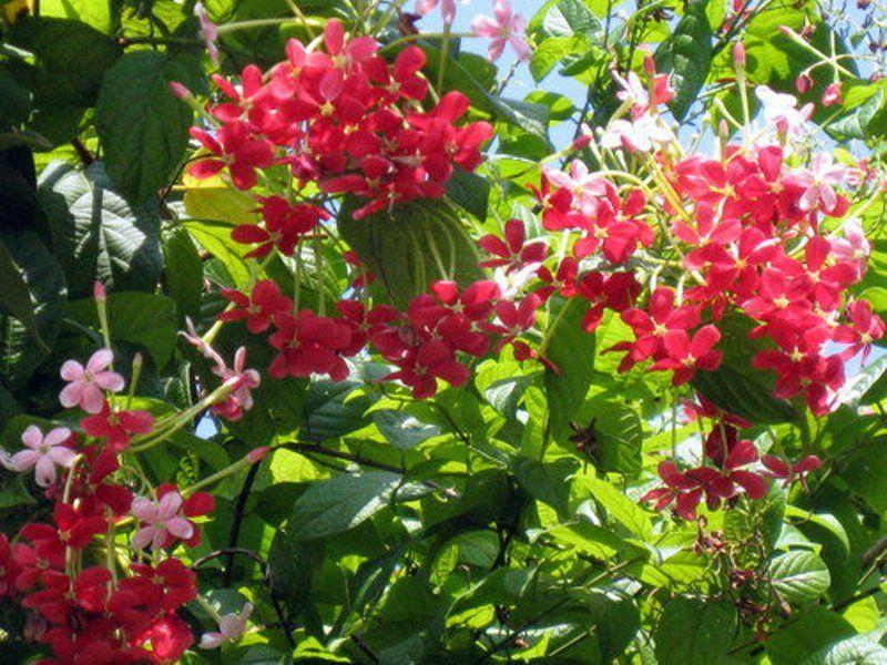 Flowers Of Bangladesh Malotilota Beautiful Flowers Planting Flowers Flowers