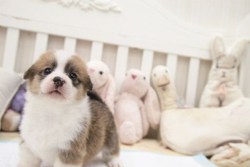 Pembroke Welsh Corgi Puppy For Sale In San Jose Ca Adn 64867 On