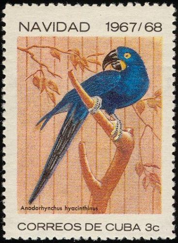 Hyacinth macaw - Cuba