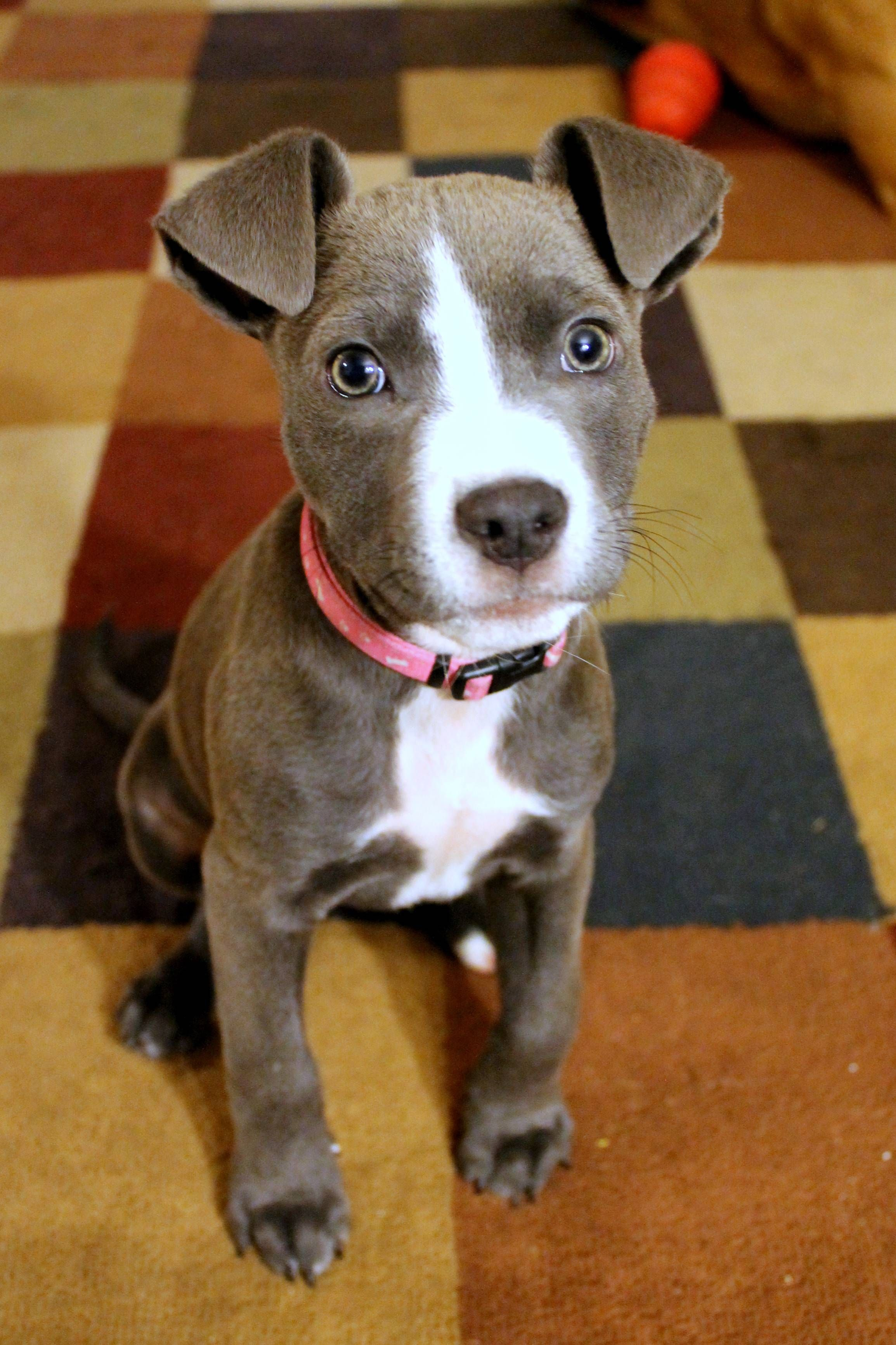 My Pit Mix As A Puppy Pitbulls Pit Puppies Pitbull Terrier