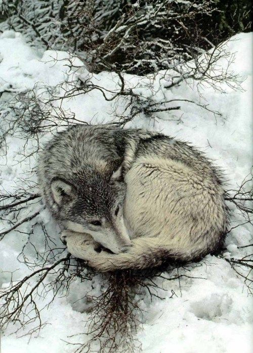 Curled Up What Wolf Totems Can Be Cute Tiere Wild Verliebte Wolfe Susseste Haustiere