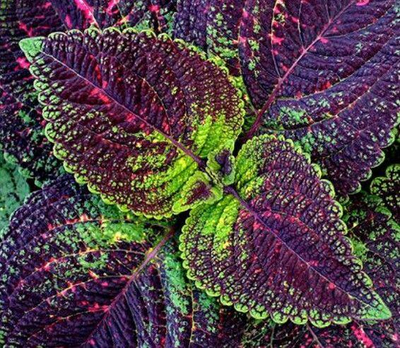 45+ Planta con hojas moradas ideas