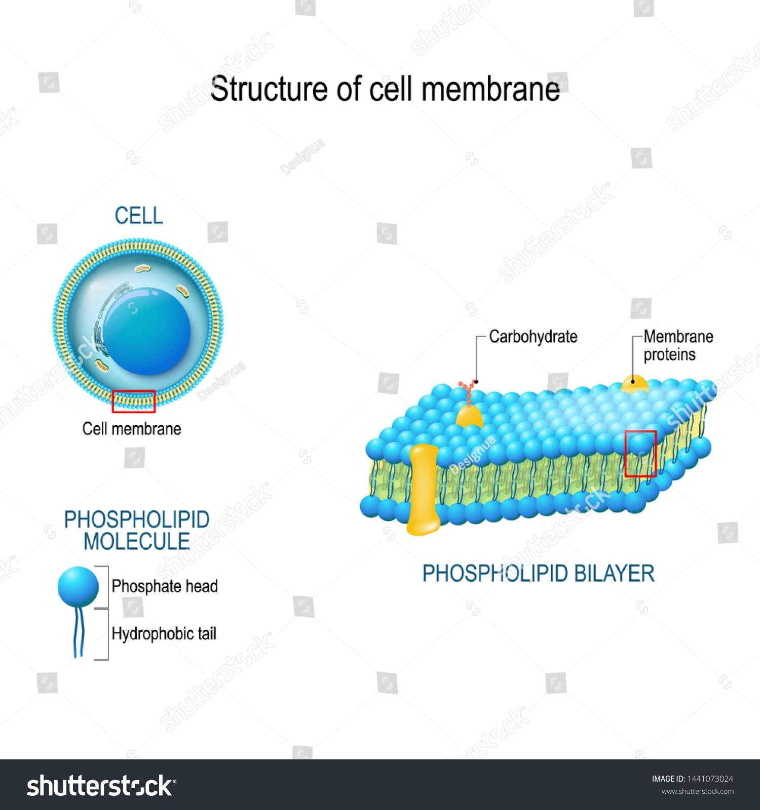 structure cell membrane closeup phospholipid royalty free