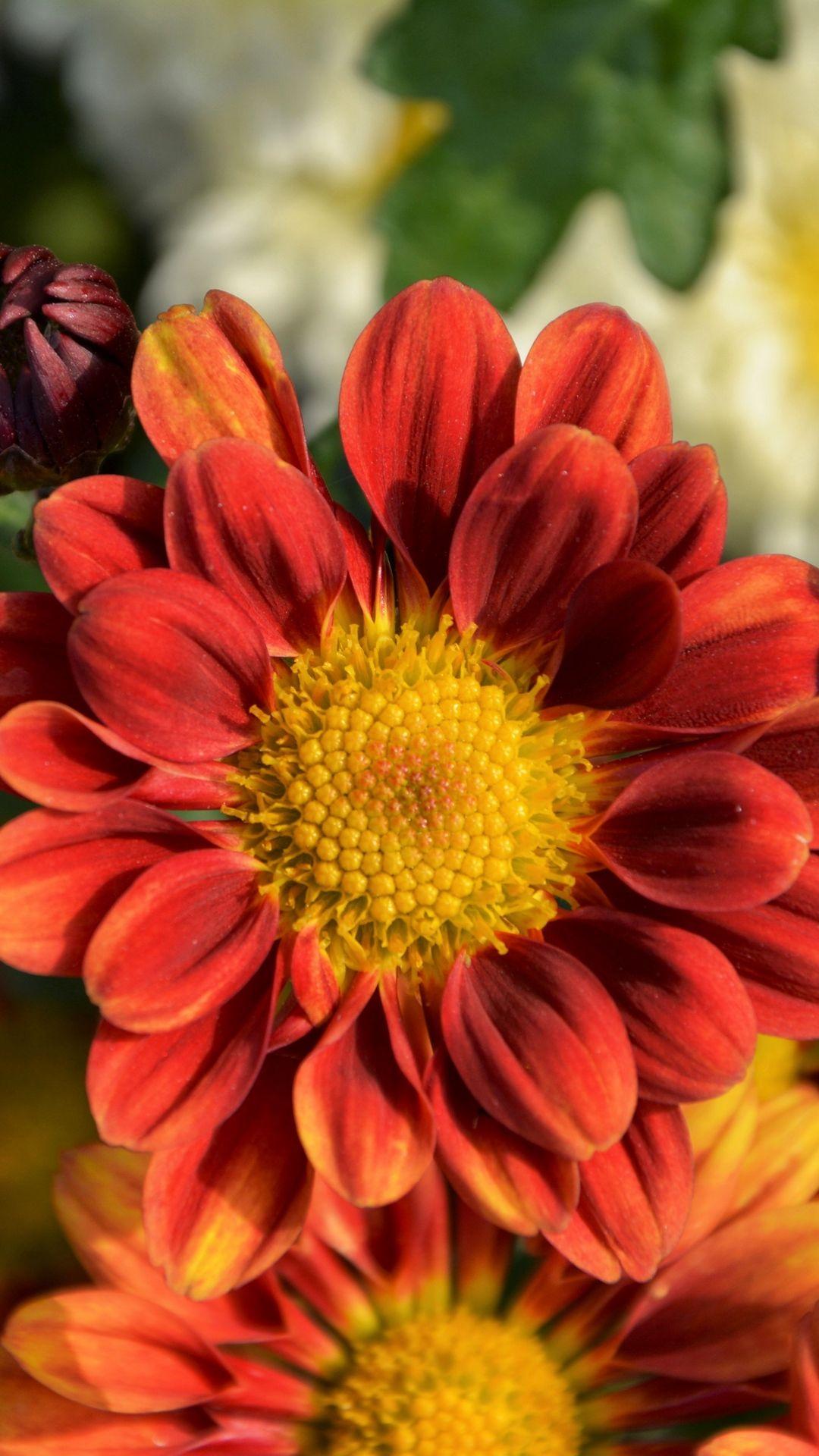 Tap To Download Chrysanthemum Petals Test1 Flower Flowers