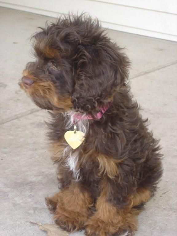 Could Be What Titan Looks Like  Yorkshire Terrier Puppies -3013