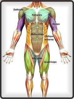 Pin De Klegerlandia Fagundes Em Musculos Do Corpo Humano Em 2020