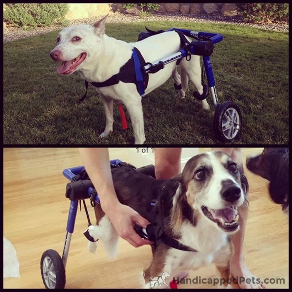 Bosley The Dog Shown In The Upper Photo Was The Original Owner Of This Walkin Wheels Wheelchair Bosley Sadly Passed Away R Dog Wheelchair Dogs Disabled Dog