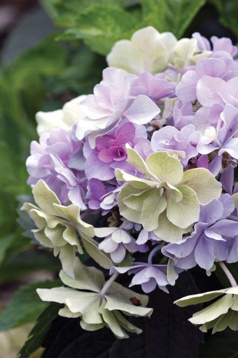 How To Get More Hydrangea Flowers Hydrangea Not Blooming Flower Farm Flowers