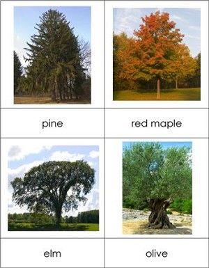 Types Of Trees Nomenclature On Pinterest Trees