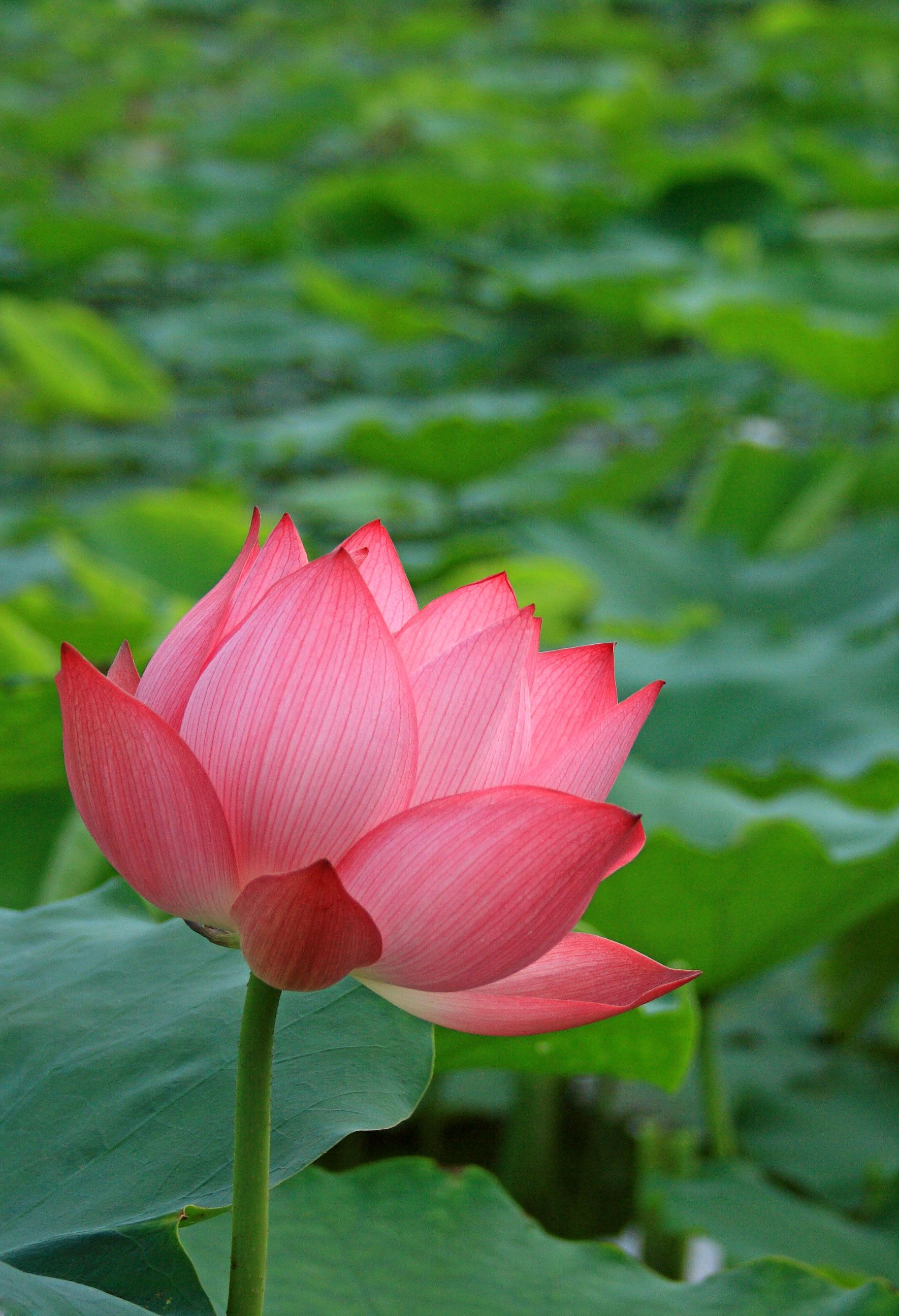 Lotus Flower Vietnams National Flower Lotus Flower Pinterest