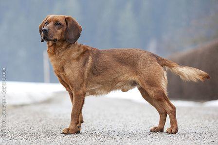 Tiroler Brak Tyrolean Hound Tiroler Bracke Schweisshund Hunde