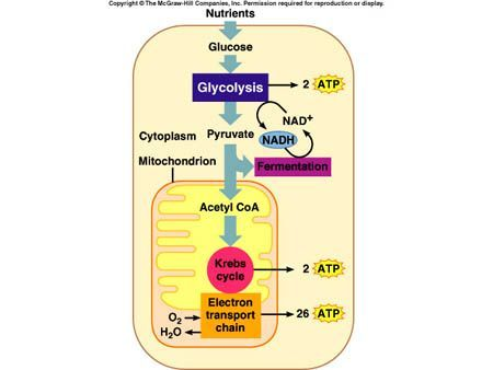 Great site glycolysis krebs cycle respiration in a nutshell glycolysis krebs cycle respiration in a nutshell ccuart Image collections