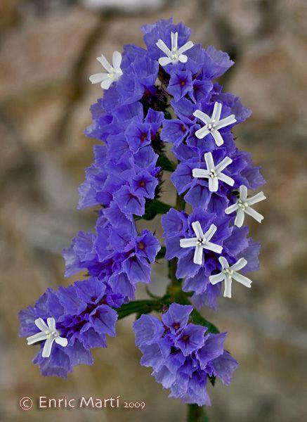 Flores silvestres del mediterr neo plumbaginaceae for Plantas jardin mediterraneo