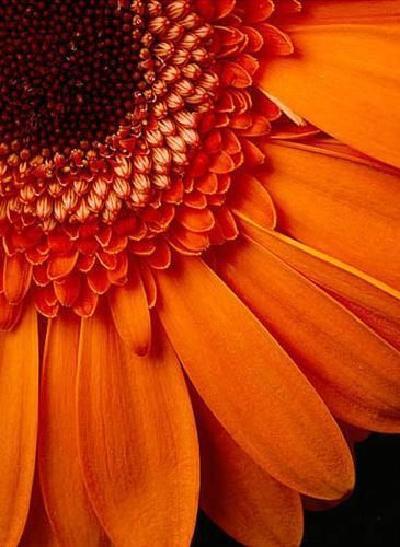 Gerbera Orange Flowers Beautiful Flowers Gerbera Daisy
