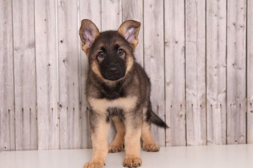 German Shepherd Dog Puppy For Sale In Mount Vernon Oh Adn 29672