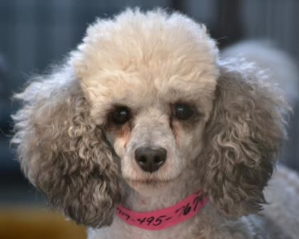 Adopt Lucy A Lovely 8 Years 2 Months Dog Available For Adoption