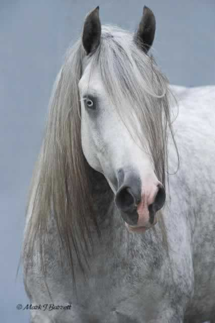 Silver Gypsy Vanner