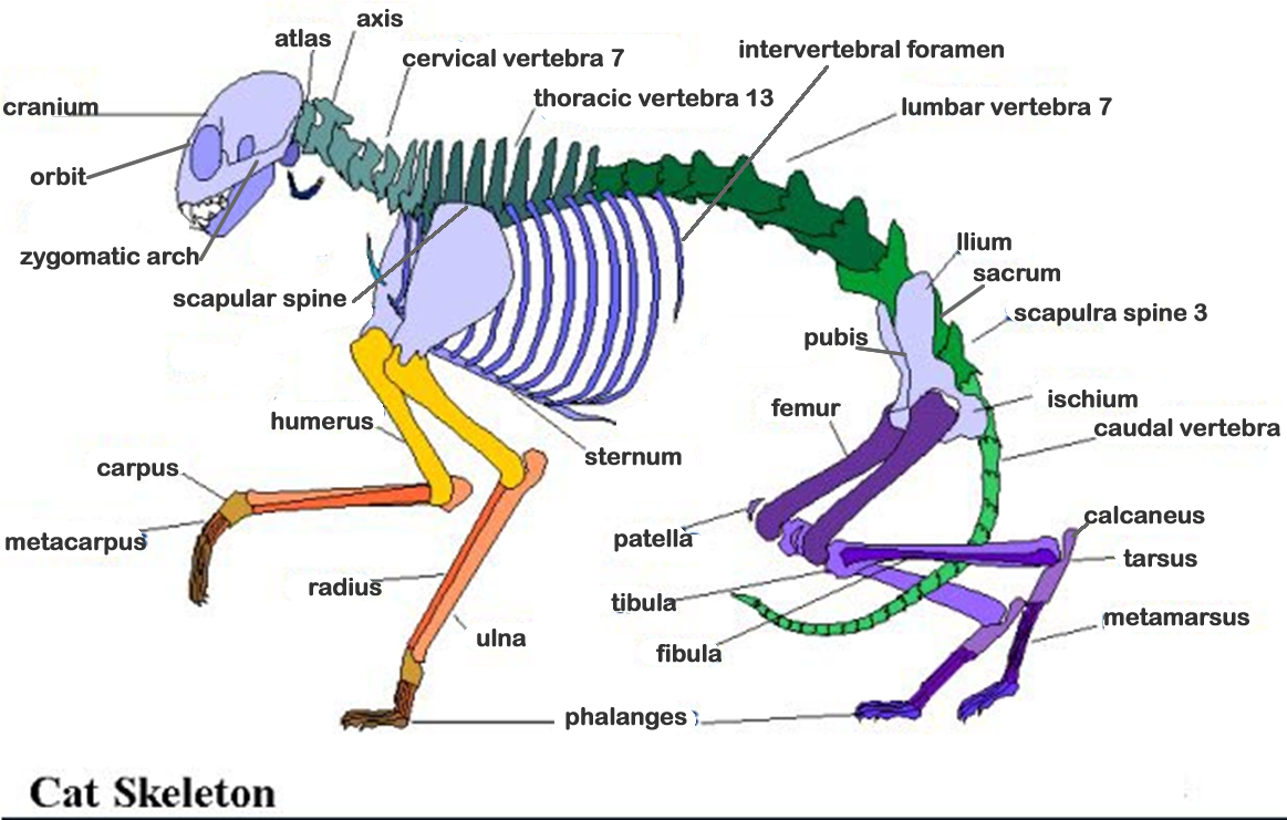 cat nerve anotomy chart - Results For Yahoo Image Search Results ...