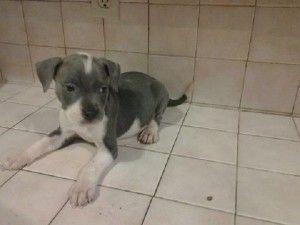 Blue Pitbull Puppies Charleston Sc