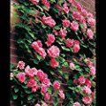"""Amazon.com: Customer Reviews: Zephirine Drouhin Rose Bush Fragrant Pink Old-fashioned Flowers - Nearly Thornless Great Climbing Rose for Shade - Organic Grown Large Pink Flowers 4"""" Potted"""