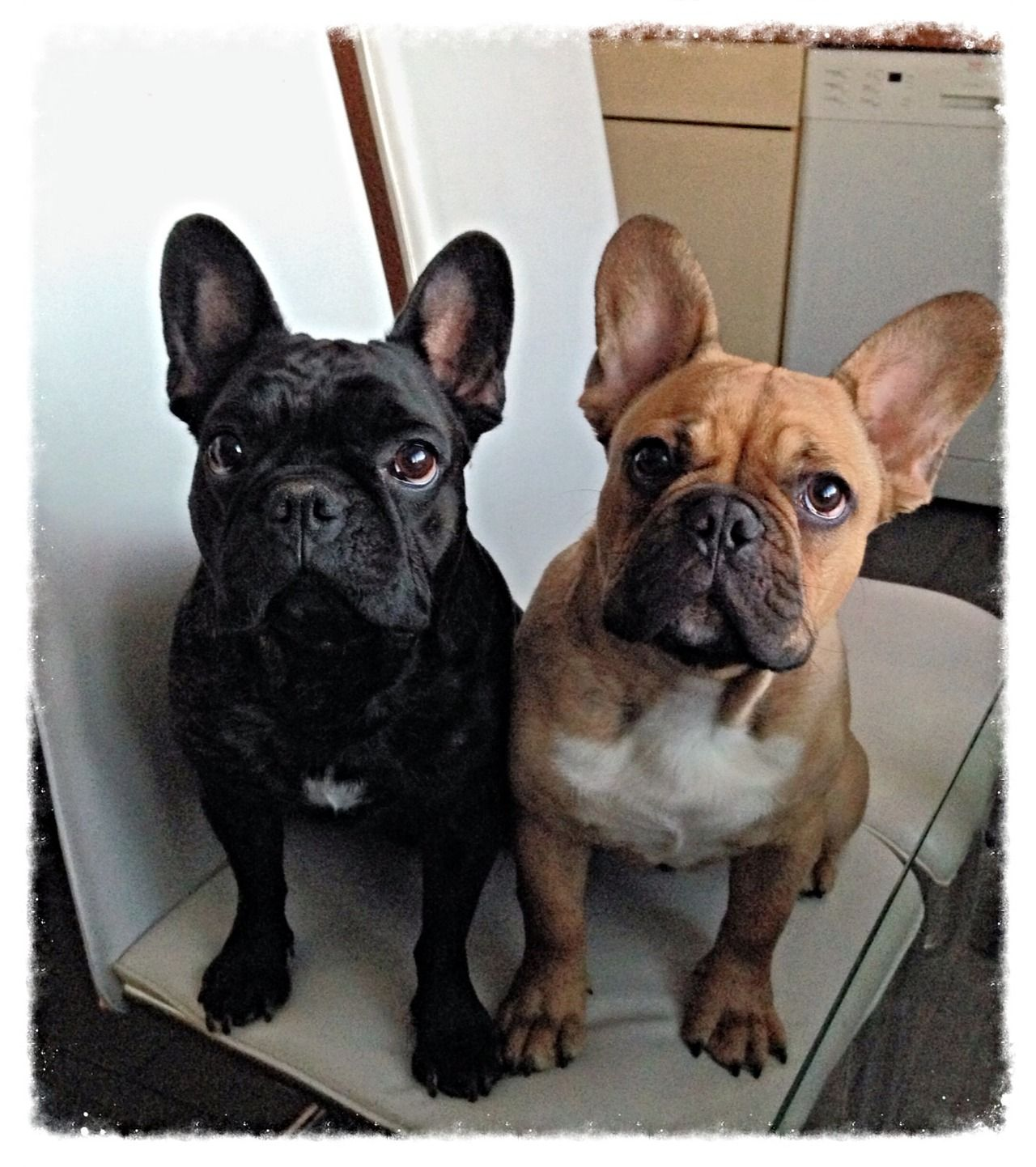 Brindle and Red Fawn French Bulldogs. Cute french