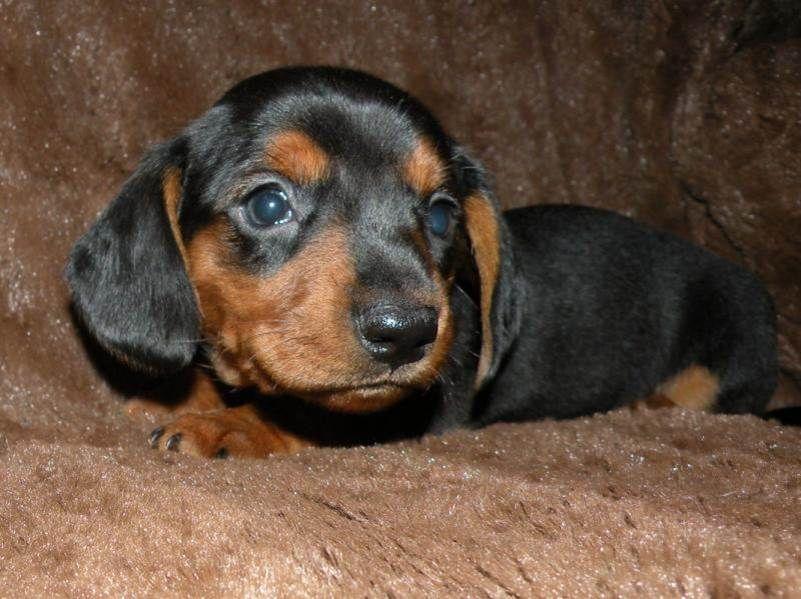 Black and brown dachshund   Puppies   Pinterest