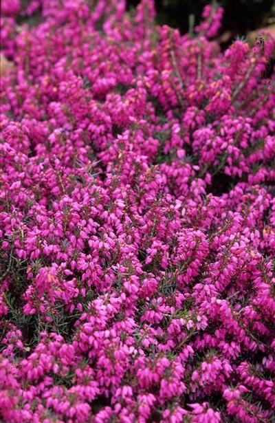 erica carnea 39 myretoun ruby 39 ou autre fleurs rose fonc floraison automne hiver feuillage. Black Bedroom Furniture Sets. Home Design Ideas