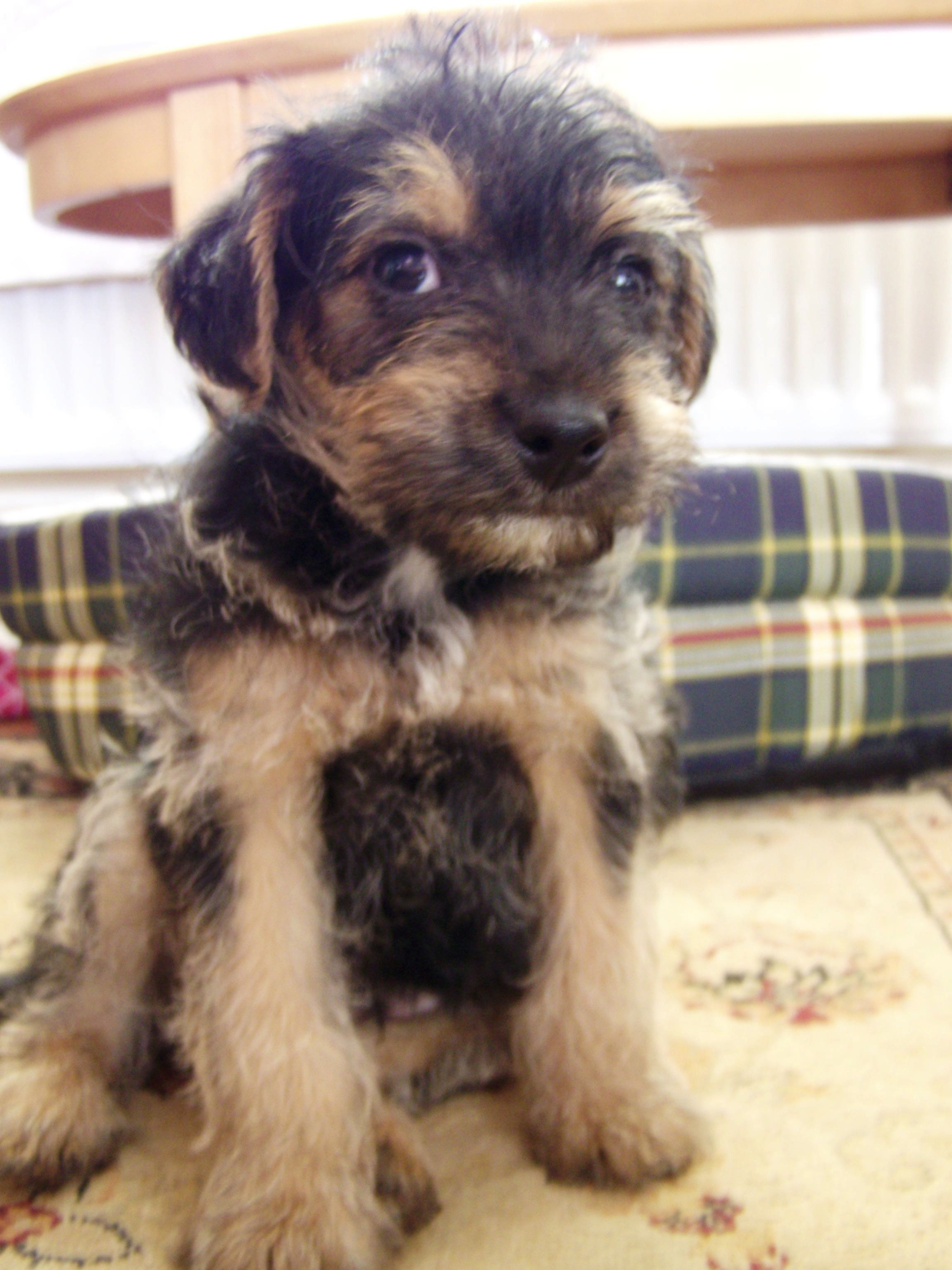 Baby Bailey Lovely Bailey Is A Border Terrier X Toy Poodle