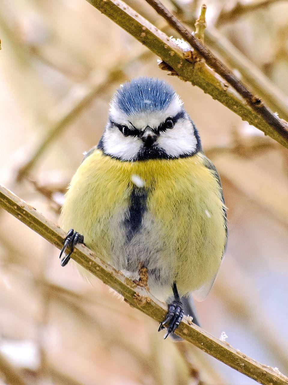 Kostenloses Bild Auf Pixabay Blaumeise Meise Singvogel
