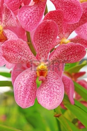 Orchid , Pink Mokara Orchid Stock Photo, Picture And Royalty Free ...