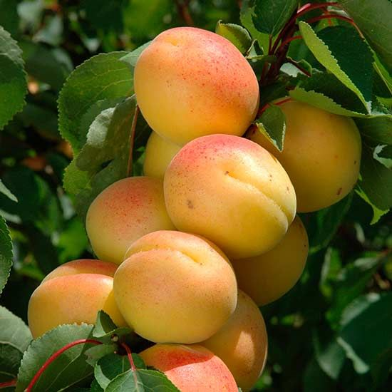 Aprium 'Cot 'n' Candy' - (75% apricot, 25% plum). Intensely sweet apricot flavour with a plum after taste. The trees grow quickly, more compact and easier to grow than most apricot varieties. Cot 'n' Candy one of the best varieties for UK growing, golden fruits often blushed red and very sweet & juicy with an incredible flavour. Apriums flower early thus require warm, sheltered site in full sun like Apricots. Train as a fan or grown as free standing tree Self-fertile. Season: early Sep