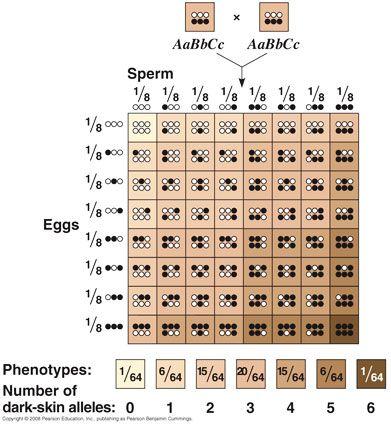 Human Hair Color Genetics Chart Google Search Human Hair Color Hair Genetics Genetics