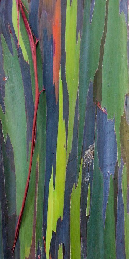 See The Painted Bark Of Rainbow Eucalyptus Tree On Oahu Hawaii