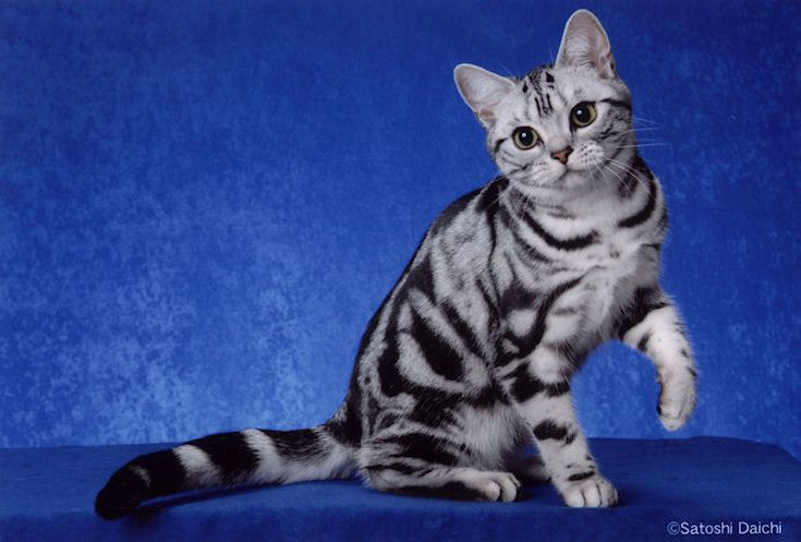 Silver American Shorthair Tabby I Have Always Wanted One Of These American Shorthair Kitten American Shorthair Cat Cats And Kittens