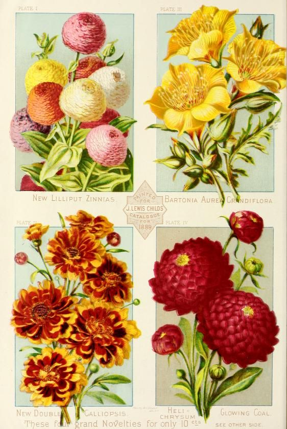 John Lewis Childs Catalogue -  New, rare and beautiful flowers 1889
