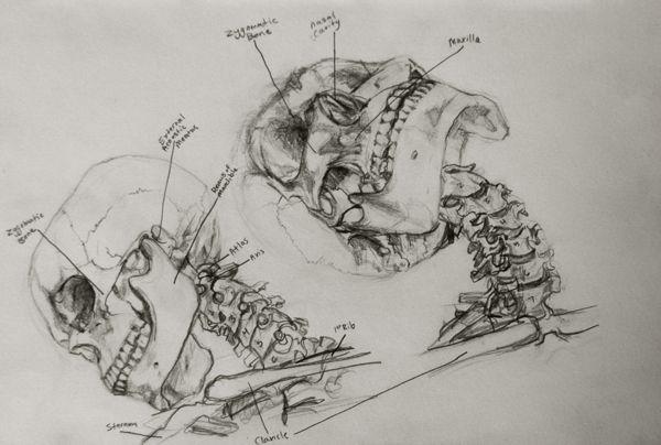 Anatomy Study by Miriam Carmack, via Behance   Anatomy ...