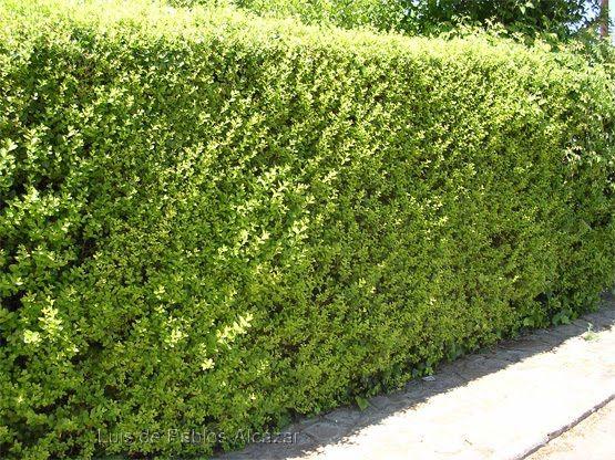 Olea texana verde cercos pinterest cercos vivos - Arbustos para vallas ...