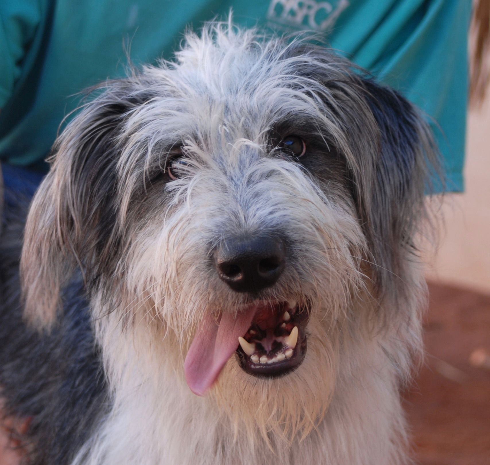 Rowdy Randy Is An Exuberant Youngster Debuting For Adoption Today