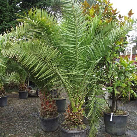 Other Palms Phoenix Canariensis For At Trevena Cross Nurseries